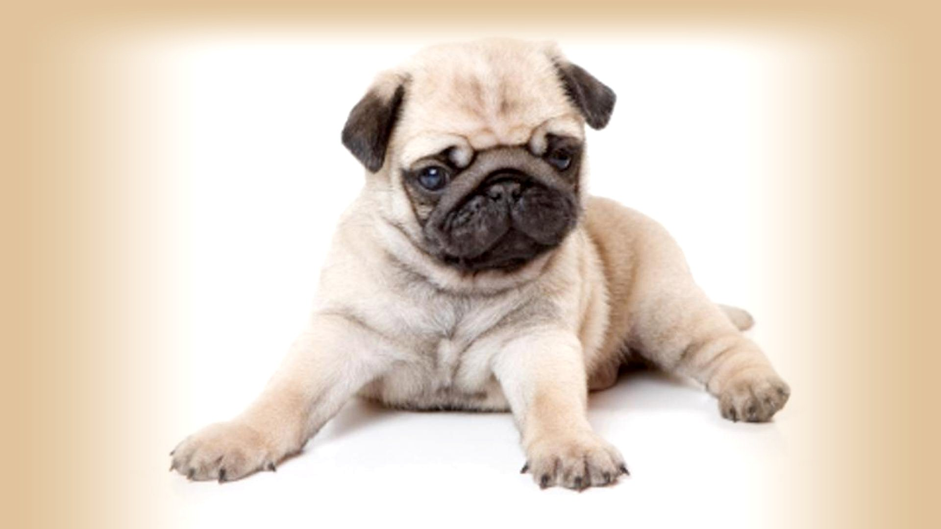 Cute Black Pug Puppy Wallpaper Hd Pictures To Pin 1920x1080