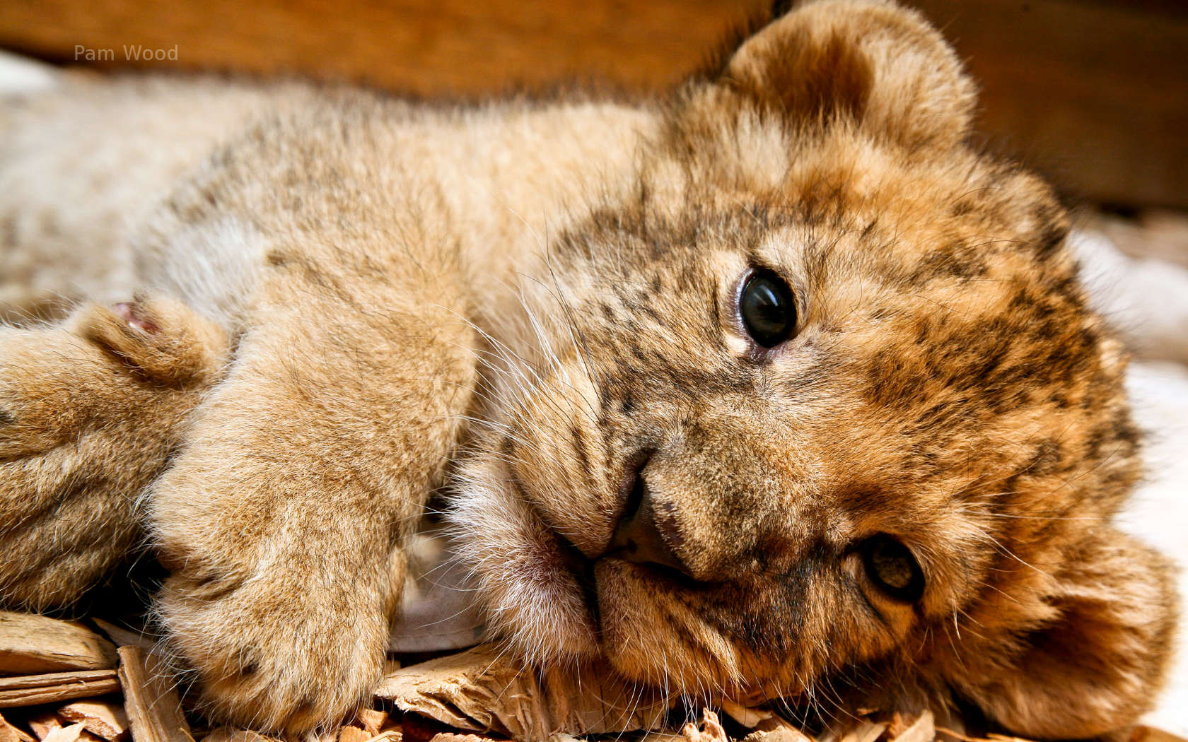 Lion cubs images cute lion cub wallpaper photos 37492155 1680x1050