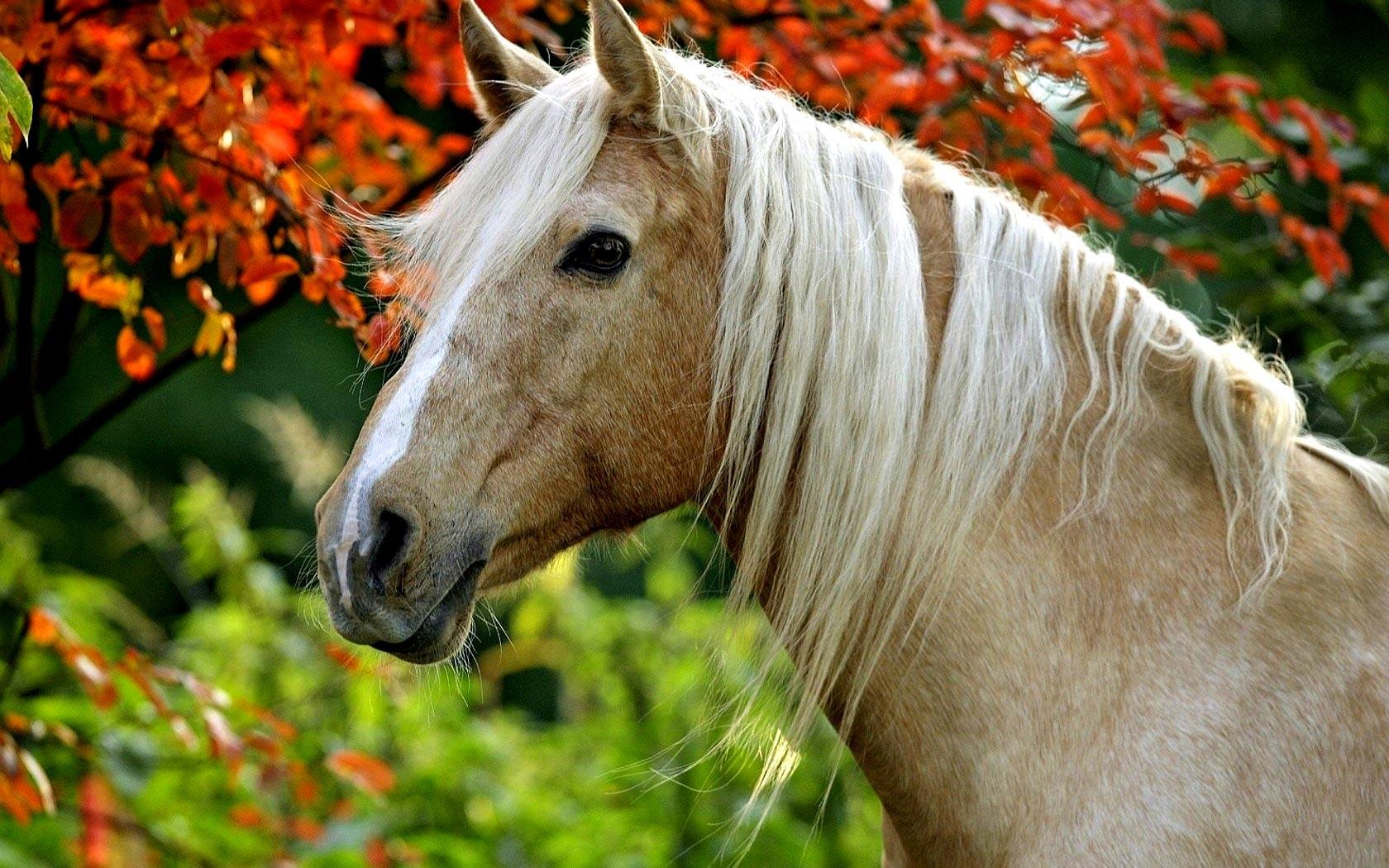 Palomino Horse Wallpapers Palomino Horse Photos Cool 1680x1050
