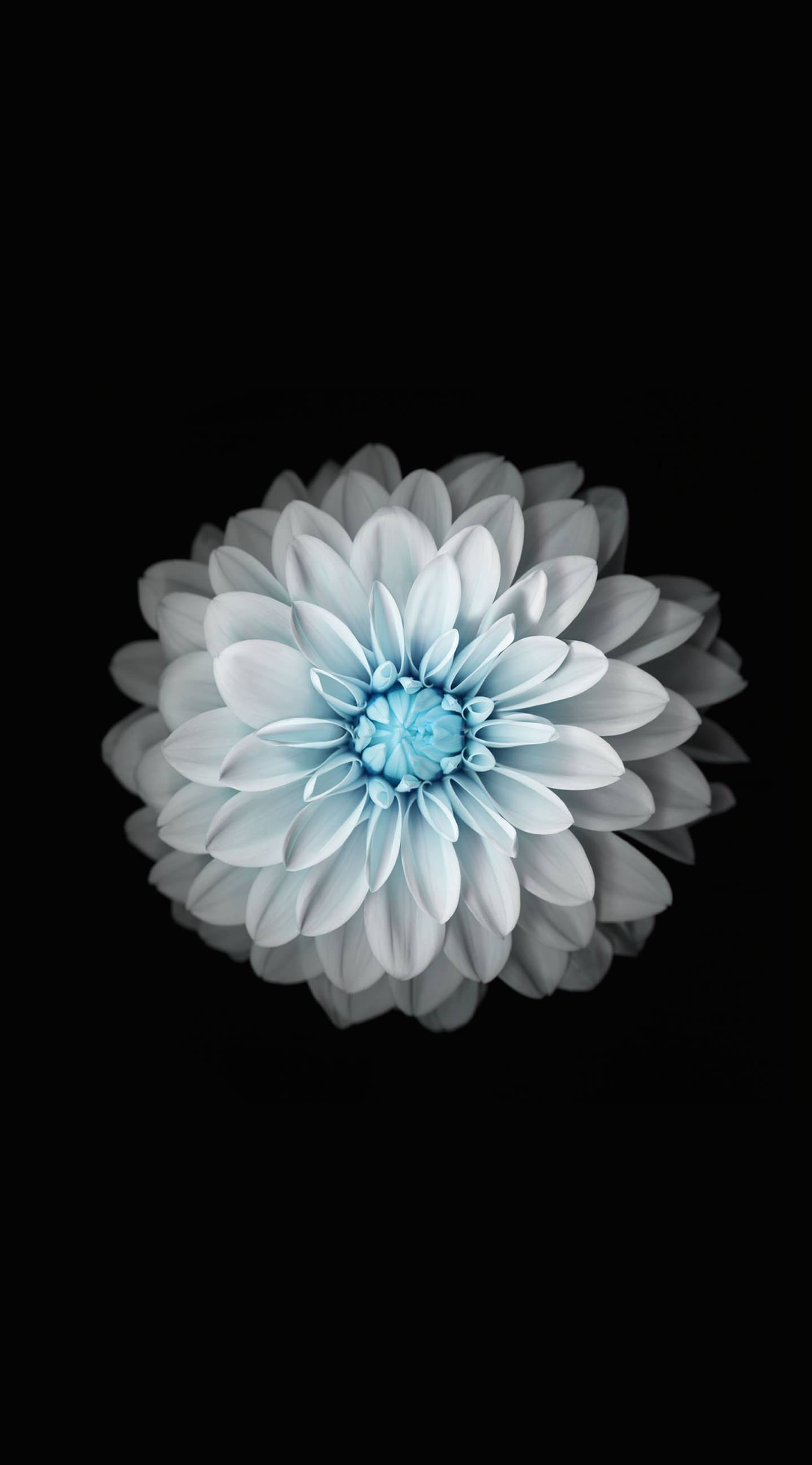 Flower black and white wallpapersc iPhone6sPlus 1438x2592