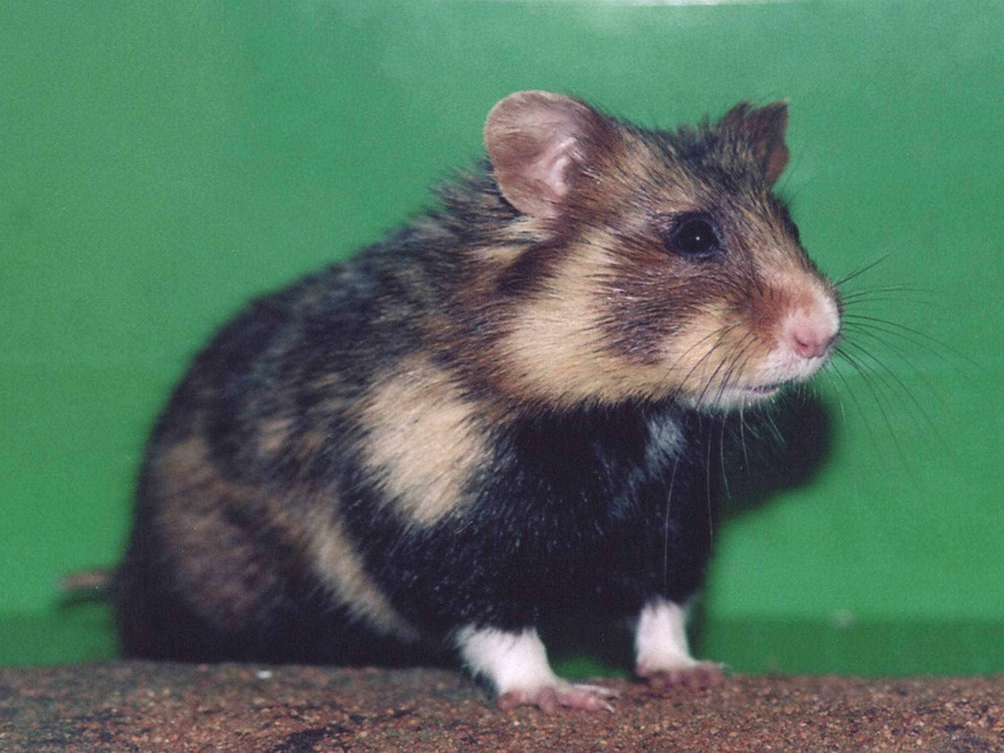 hamster wallpaper   9999   High Quality and Resolution Wallpapers 2000x1500