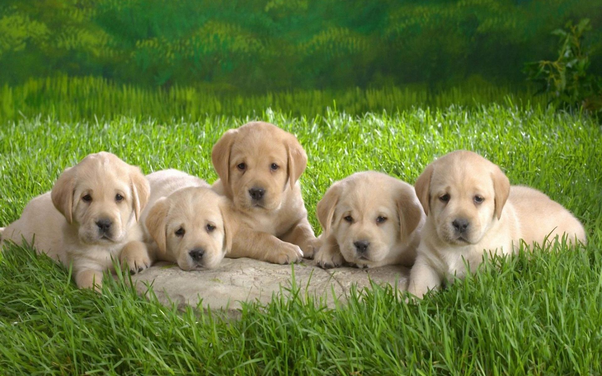 Free download Cute Puppies HD Desktop Wallpaper HD Desktop