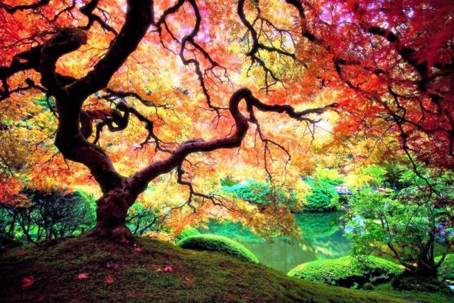 Free Download Japanese Maple Tree In Portland Oregon Pixdaus