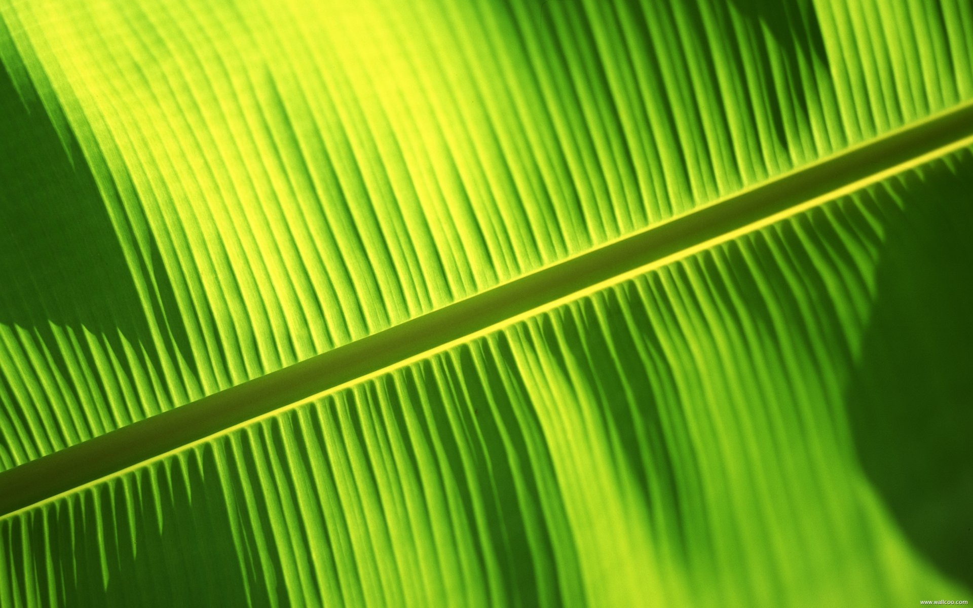 Bali Banana Leaf Wallpaper Download 1920x1200px 1920x1200