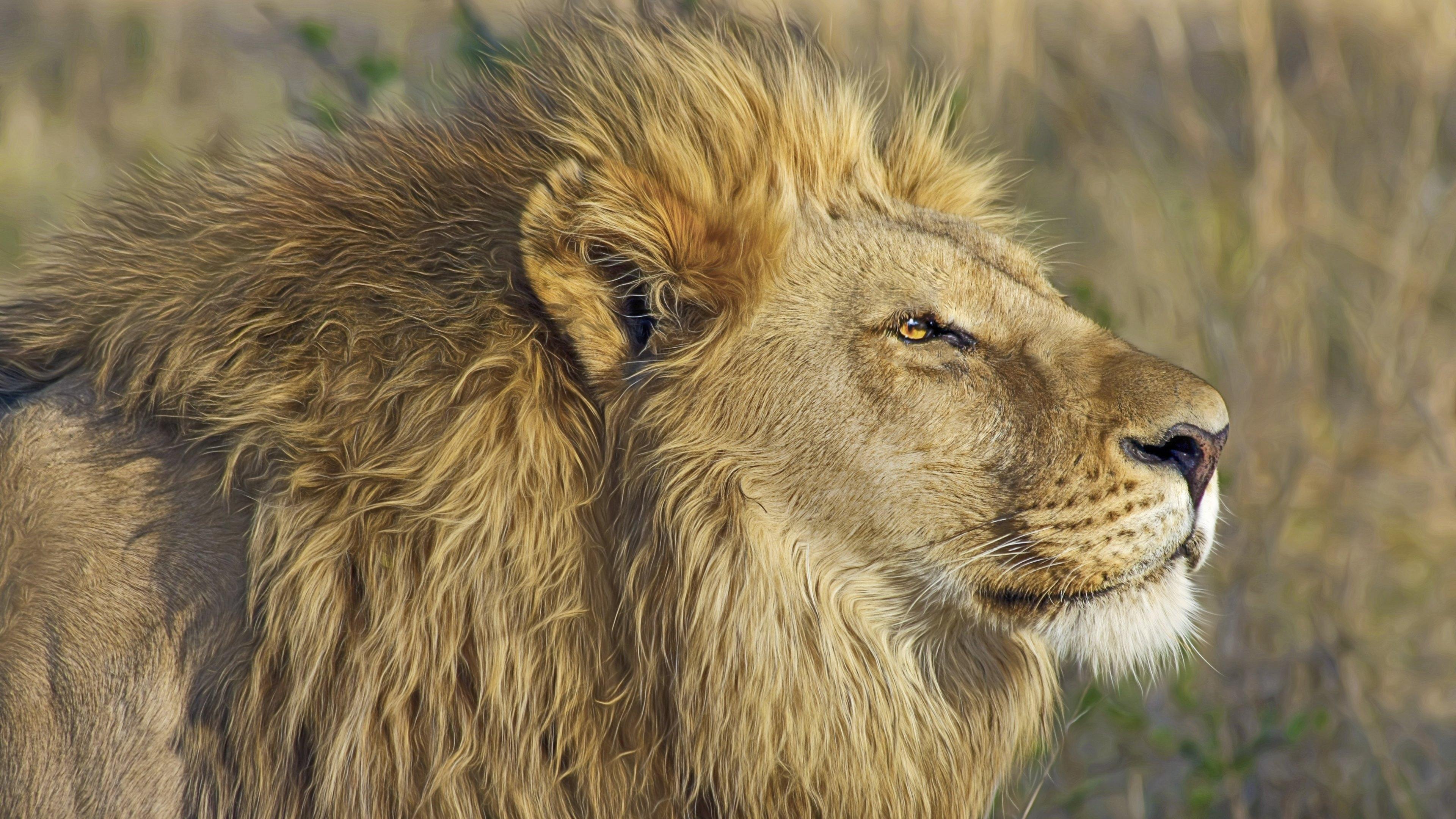 Wallpaper 5 Lion male in savanna 3840x2160