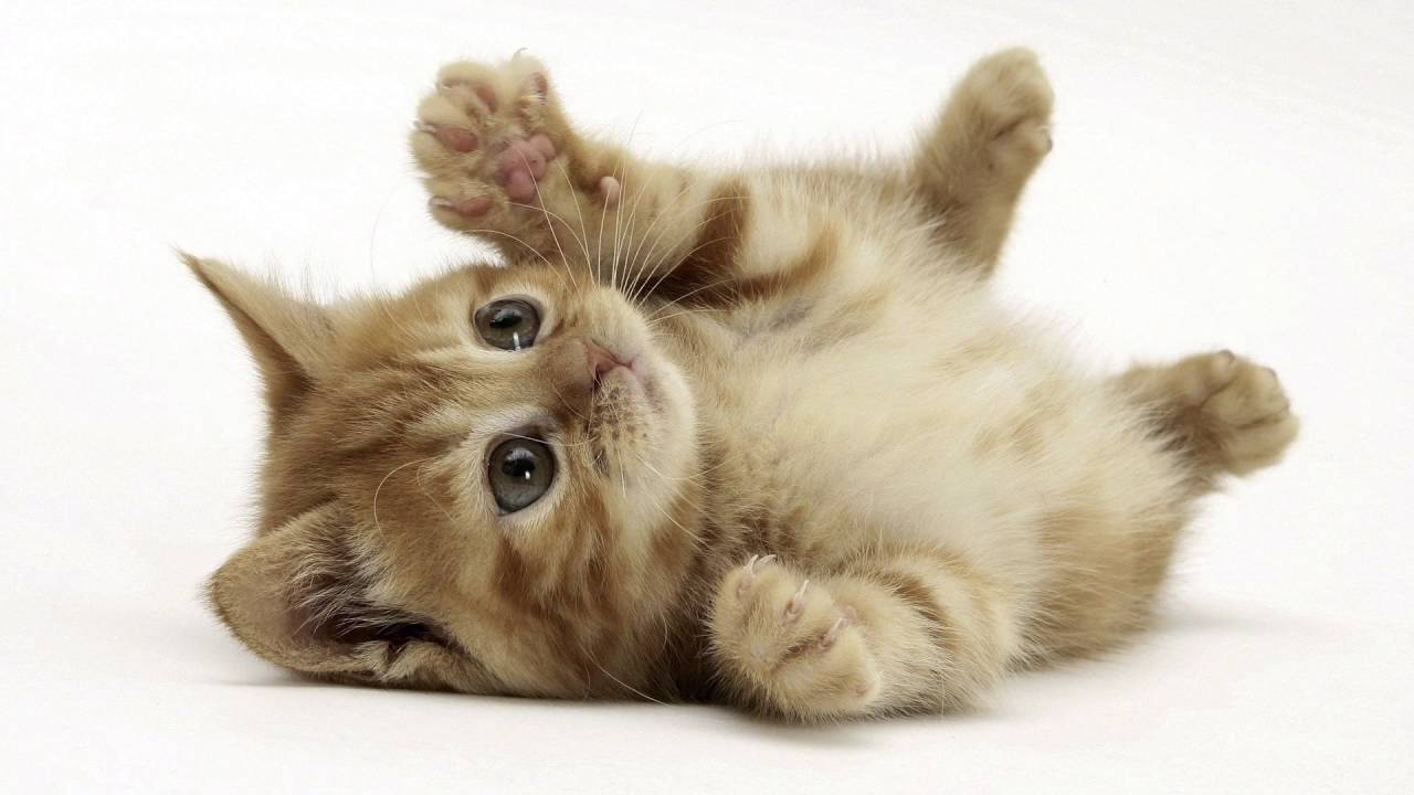 Cute Cat Wallpaper HD 1280x720