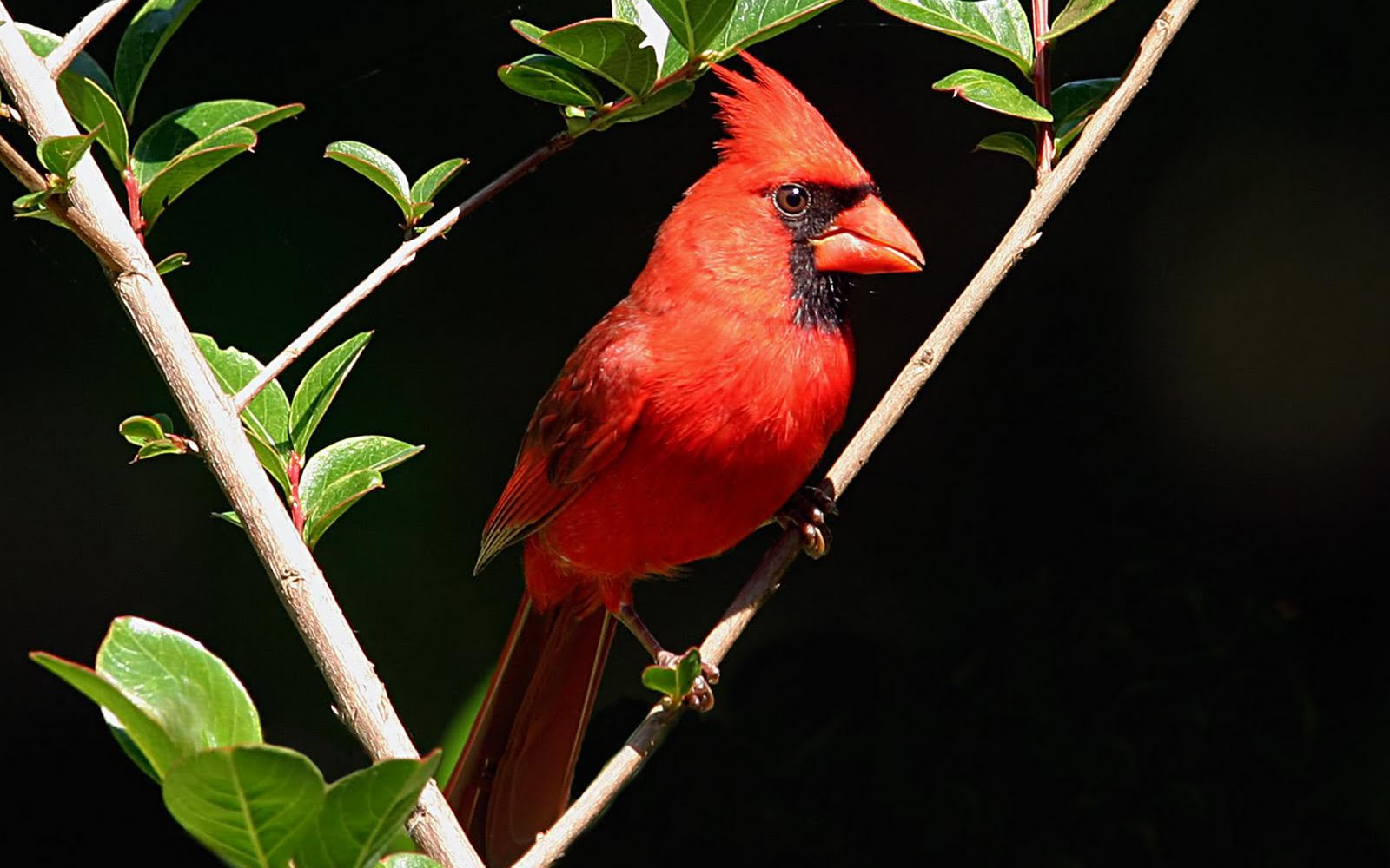 10 HD Cardinal Bird Wallpapers   HDWallSourcecom 1600x1000