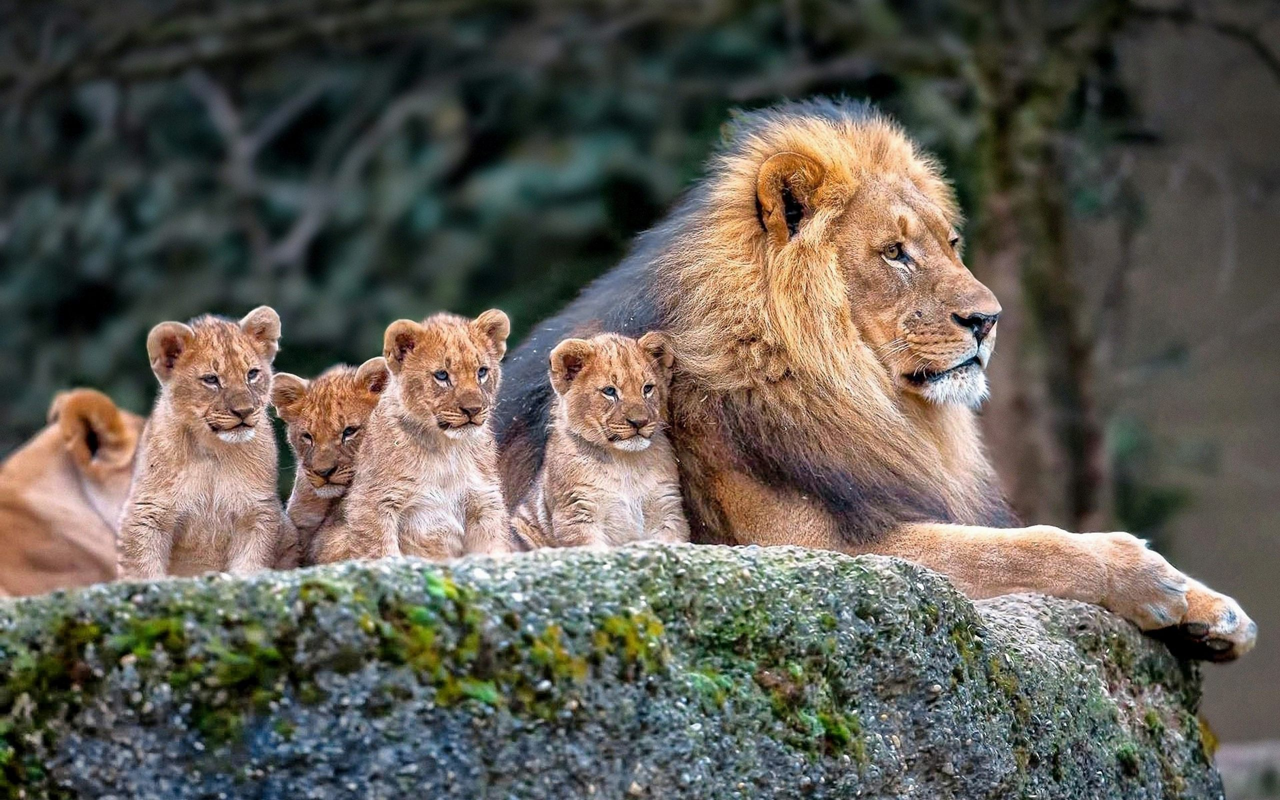 lion family baby lions hd wallpaper Lions 2560x1600