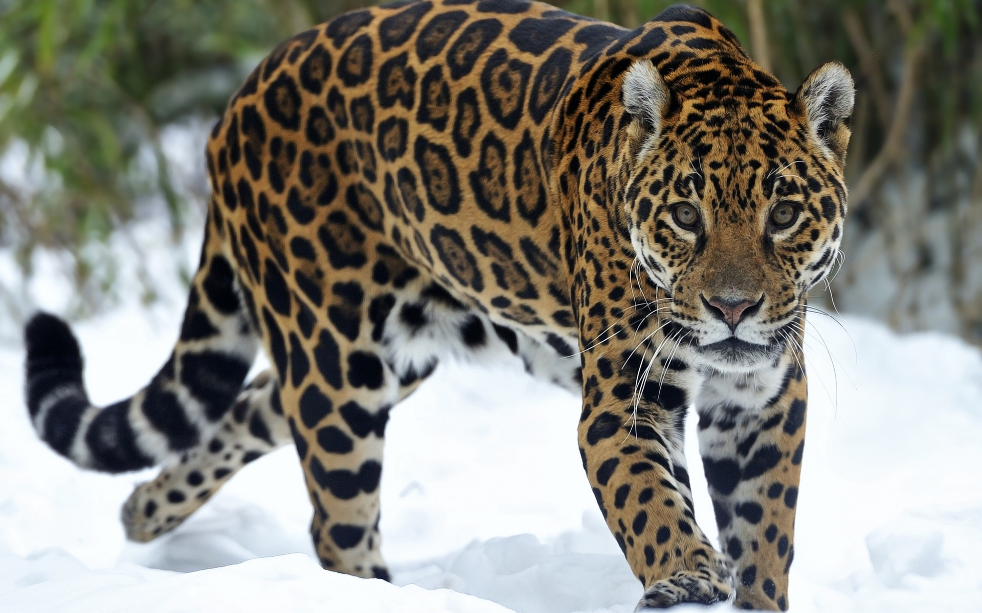 Jaguar predator snow eyes cat wallpaper 1920x1200 65616 1920x1200