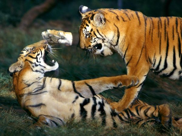 tigers indian tigers cute tigers tiger cu bs tigers photos wallpapers 600x450
