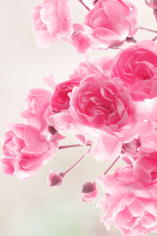 Pink Roses Flowers Simply beautiful iPhone wallpapers 640x960