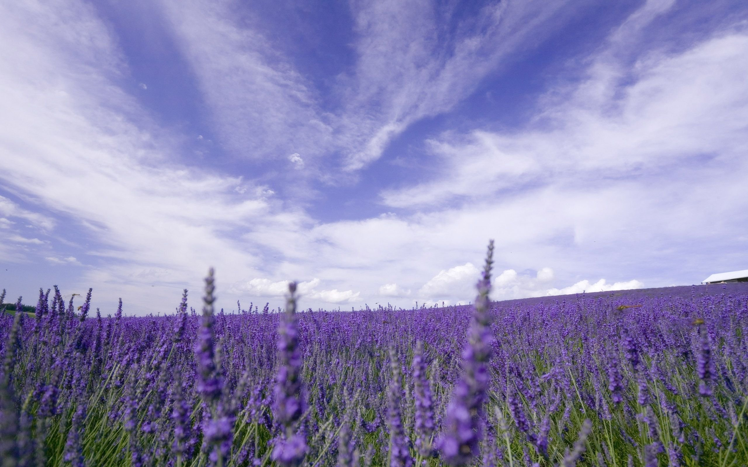 Wallpaper of the Day Lavender Fields Where to find them in 2560x1600