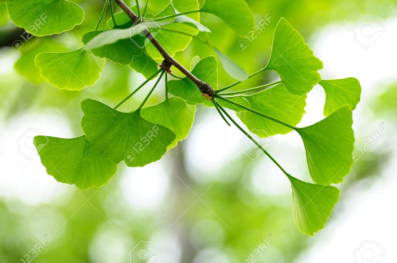 Natural Background With Leaves Of Gingko Biloba Tree Stock Photo 1300x863