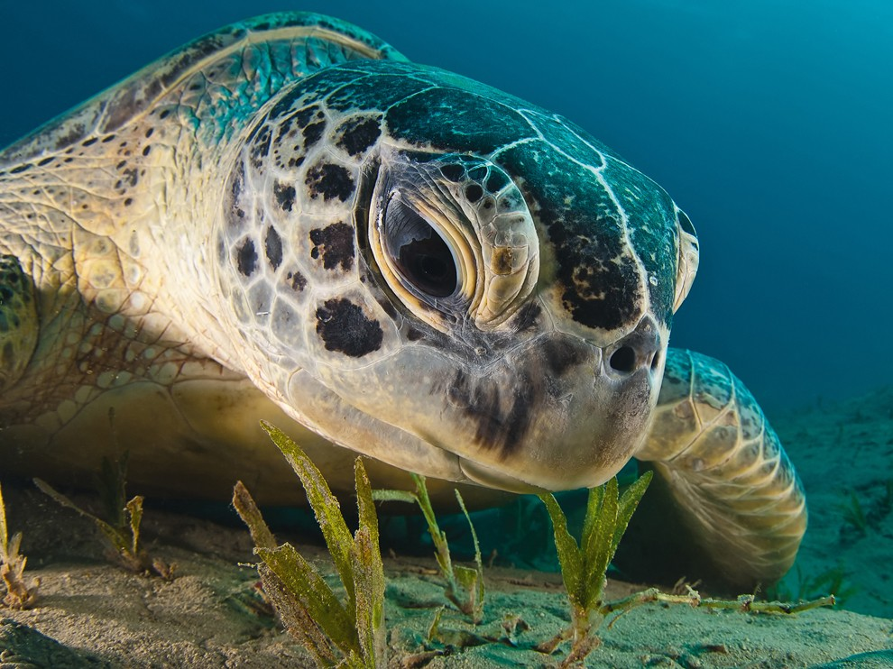 National Geographic Wallpaper   Green Sea Turtle Red Sea 990x742