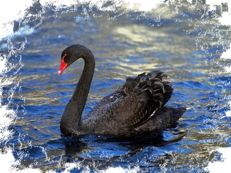 Black Swan wallpaper   ForWallpapercom 808x606