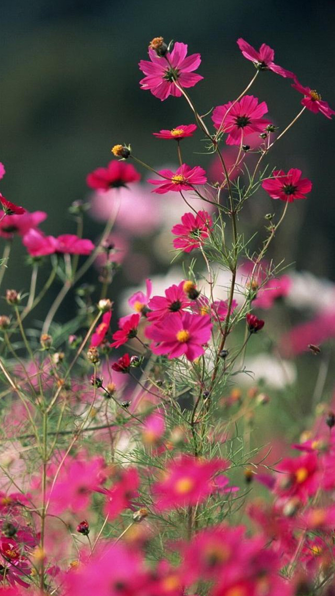 Free Download Flower Wallpaper Iphone 84 Images 1080x1920 For Your Desktop Mobile Tablet Explore 56 Flower Iphone 7 Plus Wallpaper Flower Iphone 7 Plus Wallpaper Iphone 7 Plus Wallpaper Iphone 7 Plus Wallpapers