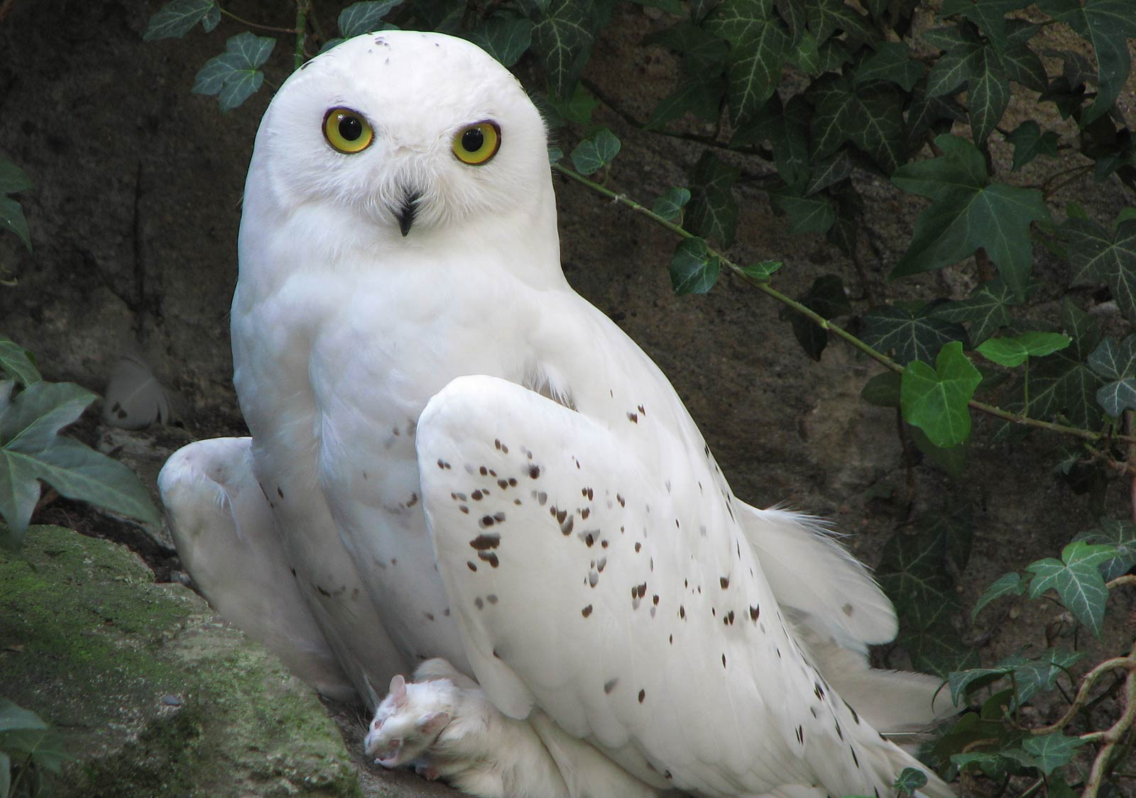 Wallpapers For Snowy Owl Wallpaper Screensavers 1600x1125