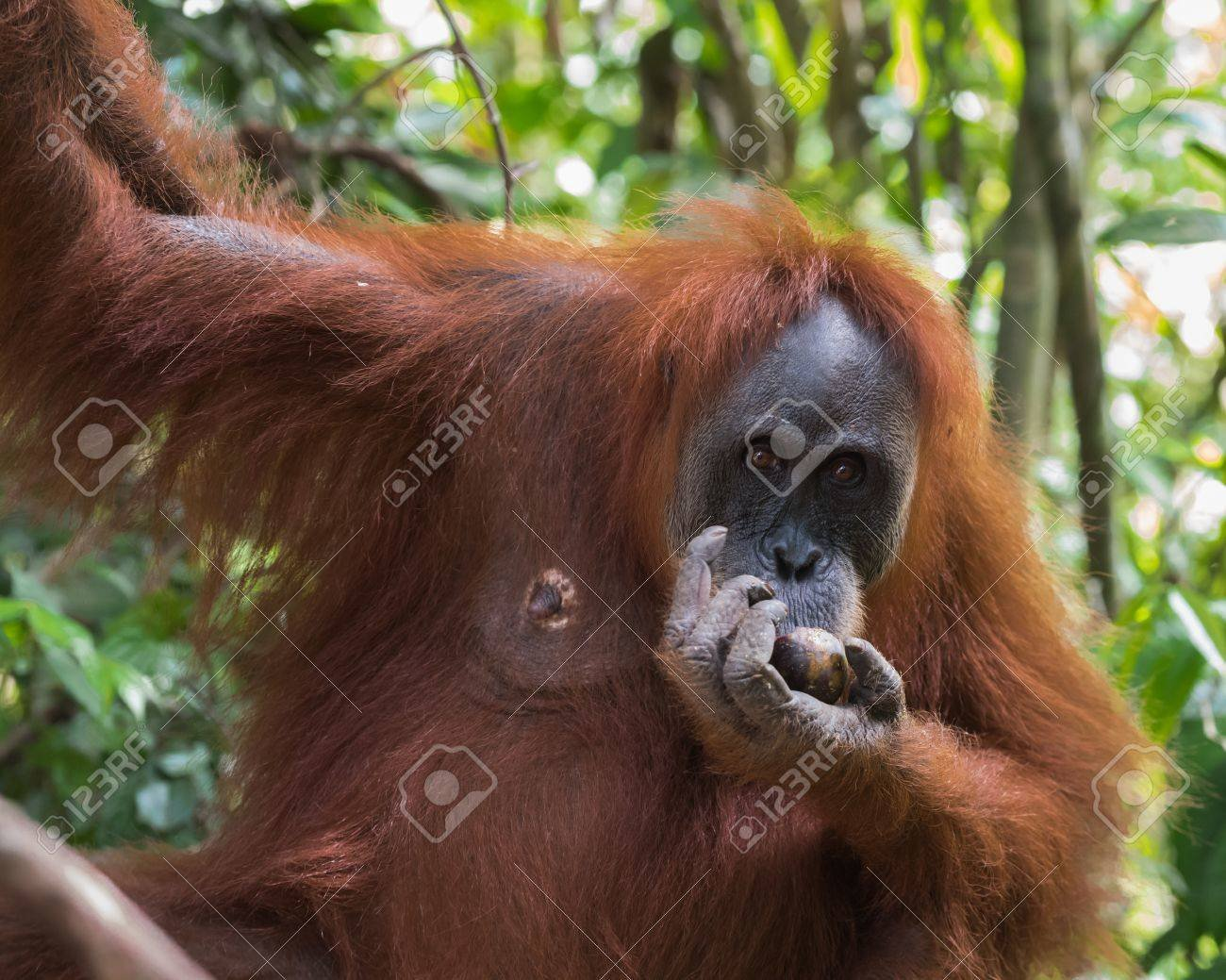 Adult Hairy Orangutan Dine And Hang On The Branches On The 1300x1039