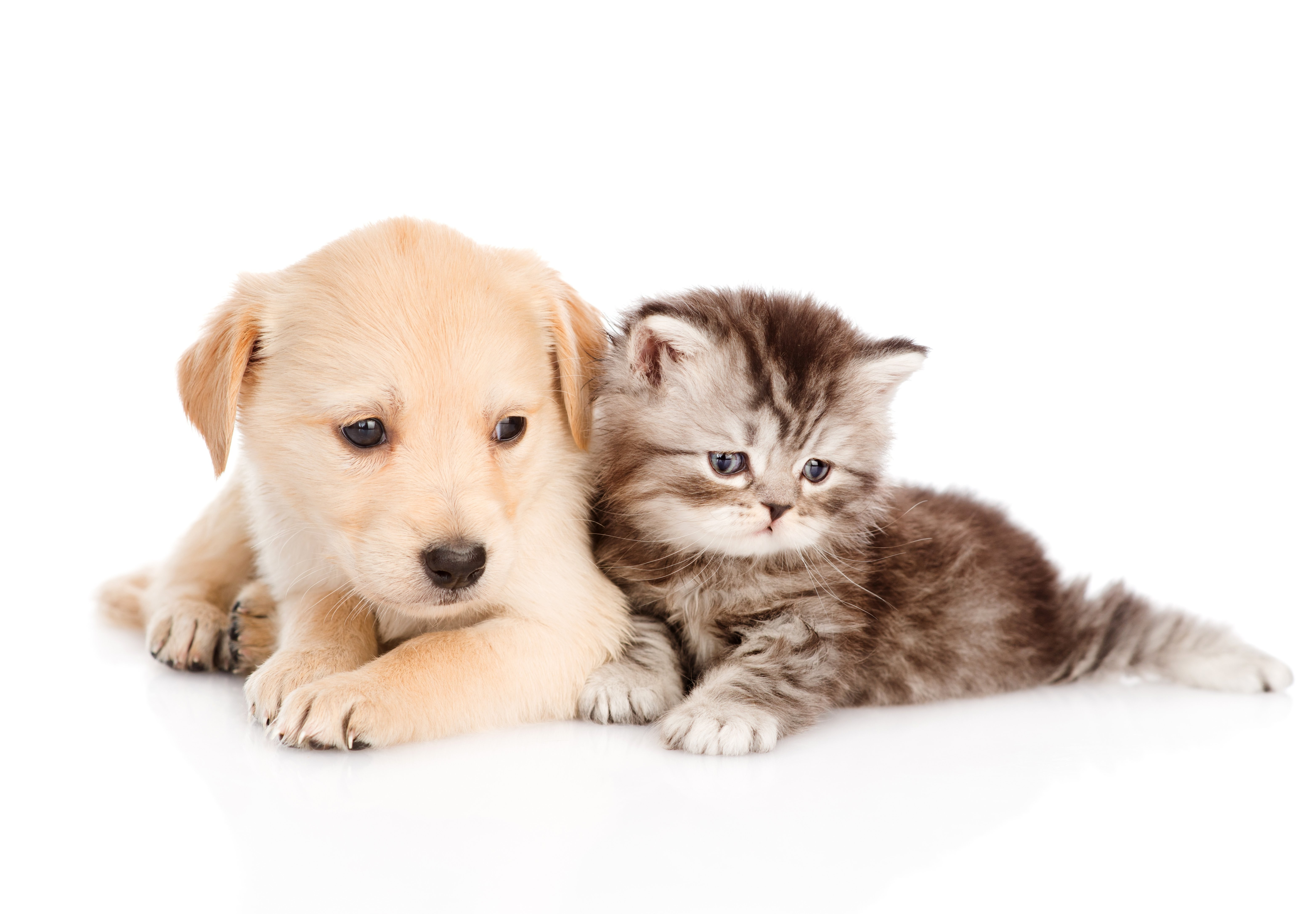 Dog And Cat Wallpaper Cute Wallpapers Kittens Puppies 6256x4341