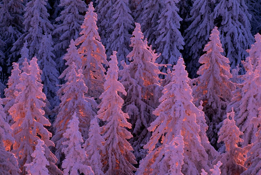 Picture of trees covered in snow Black Forest Germany 990x666