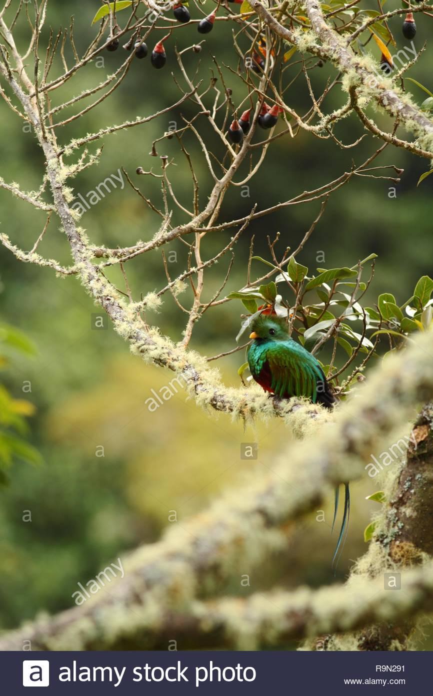 Resplendent Quetzal Pharomachrus mocinno Savegre in Costa Rica 866x1390