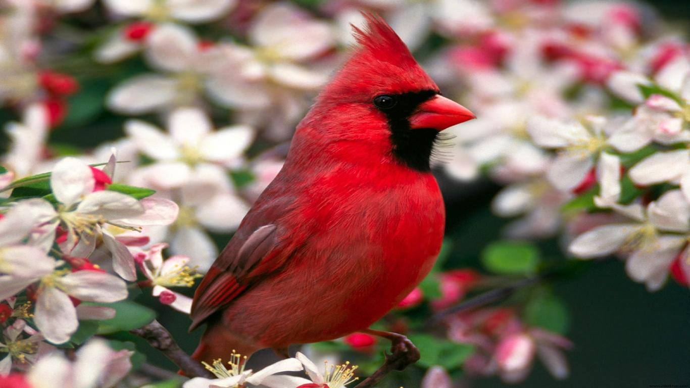 red cardinal in flower1366x76852469 Red Cardinal in Flower Screensaver 1366x768