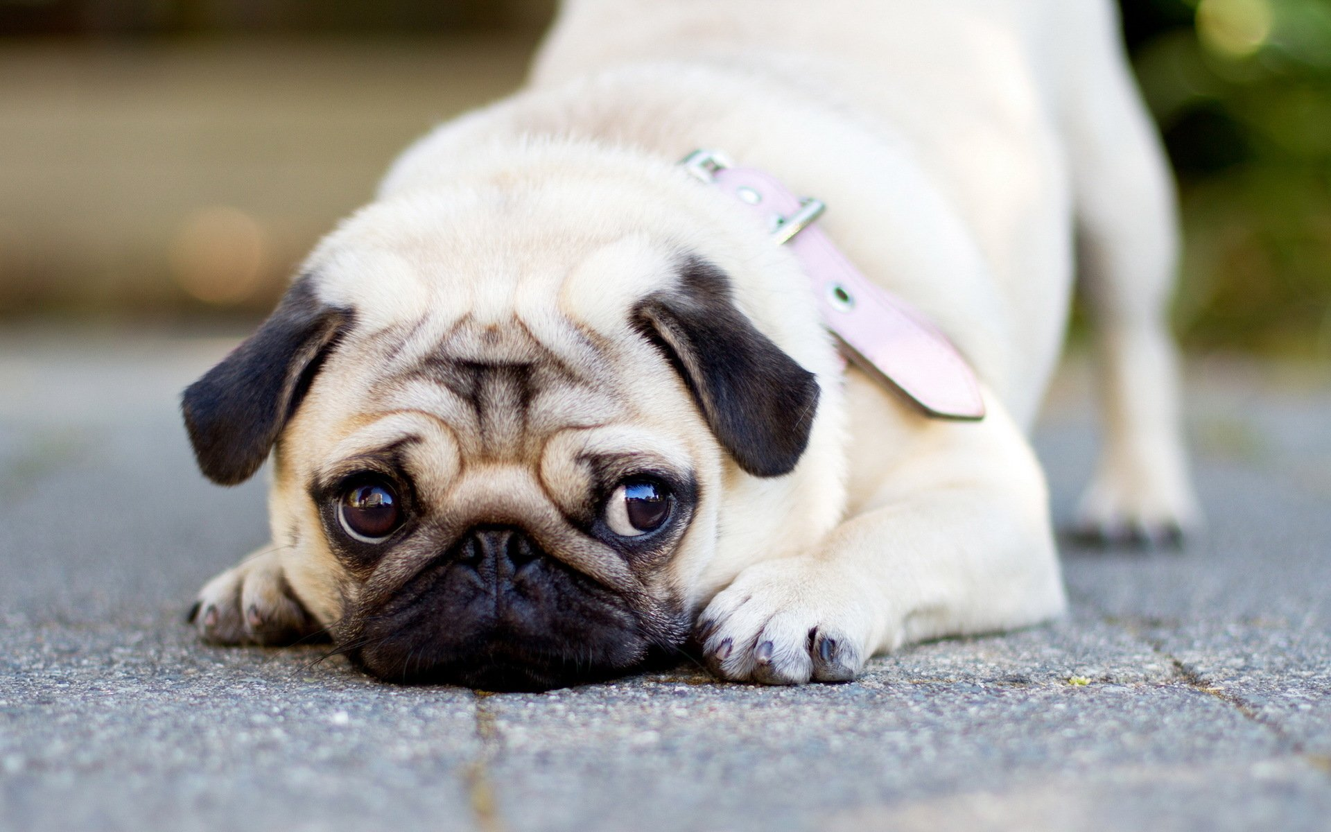 80 Pug HD Wallpapers Background Images 1920x1200