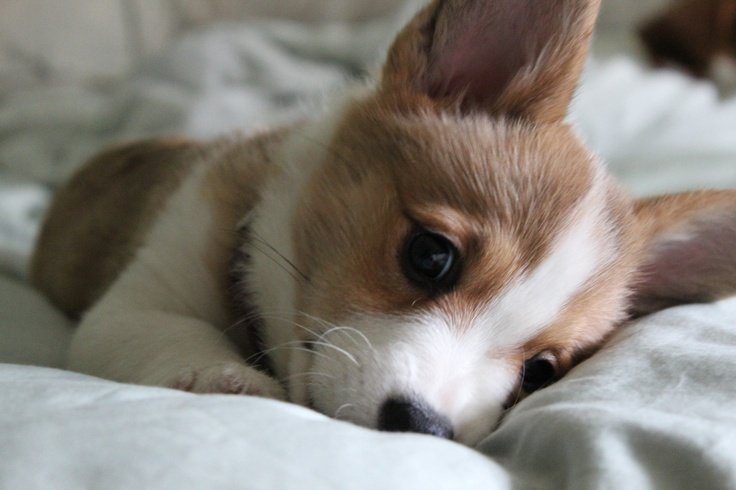 Cute Corgi Wallpaper Wallpapersafari