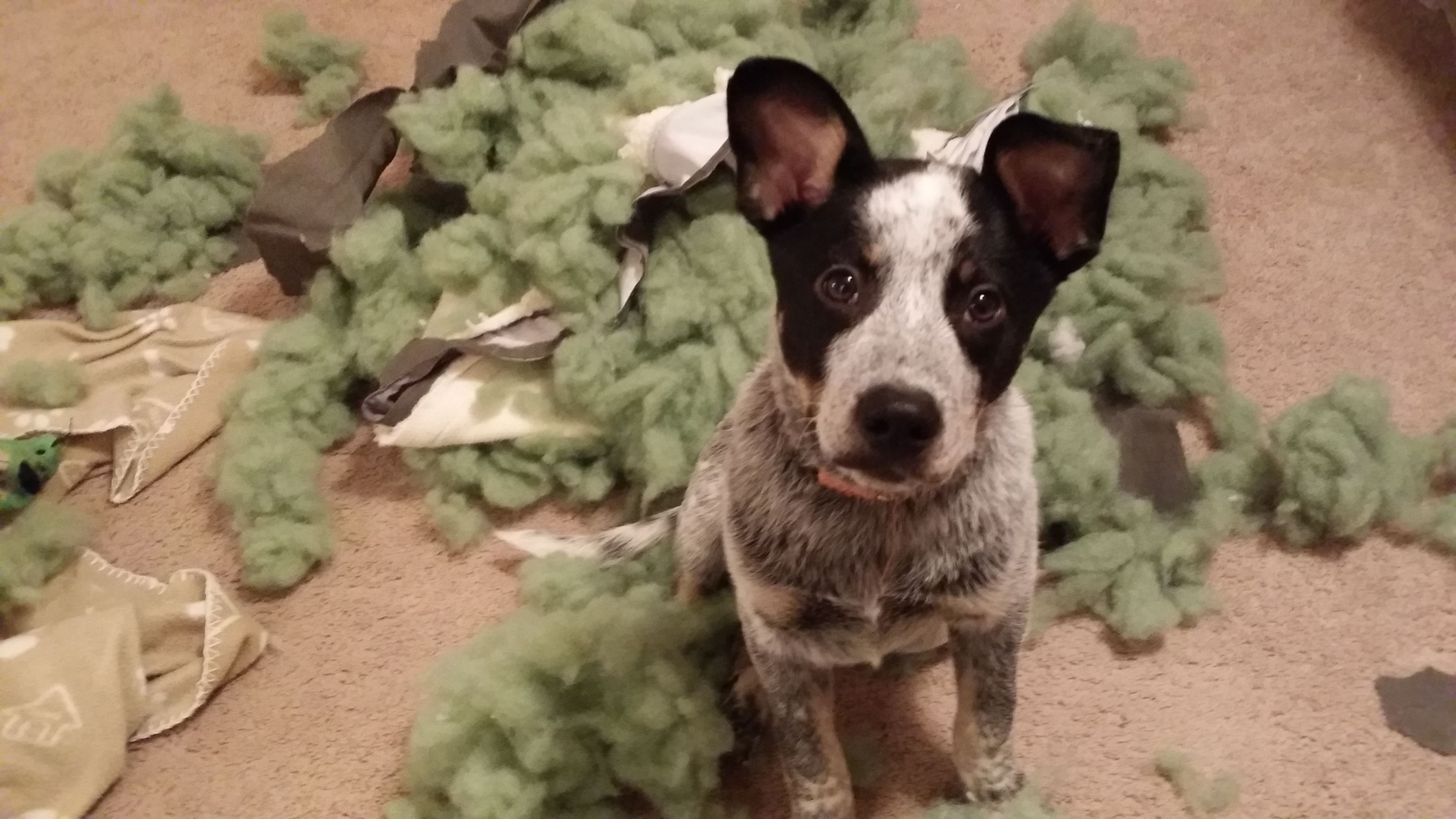 Ivanthe terrible Our blue heeler dogs pets dog Adopt 4128x2322