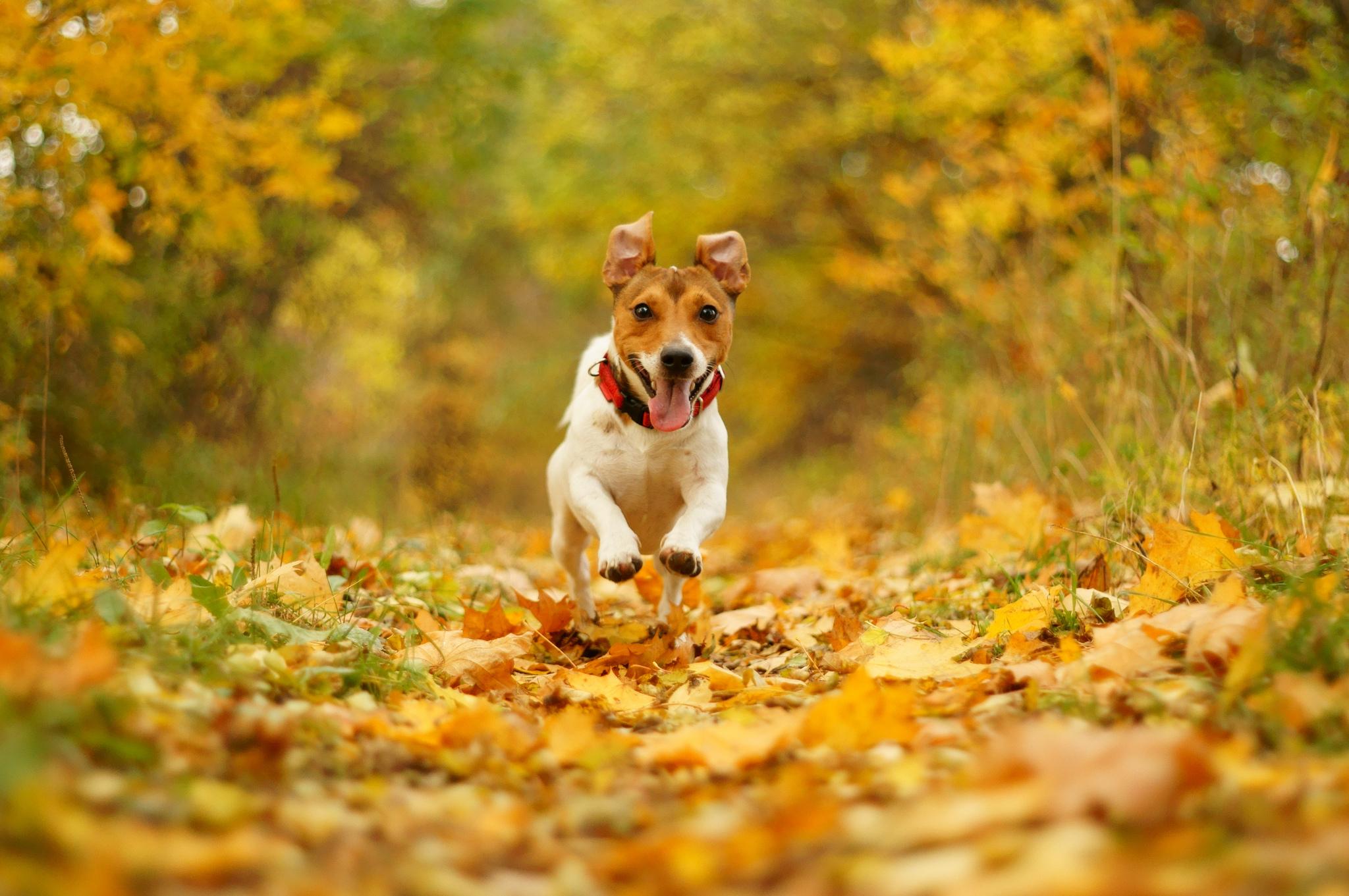 Wallpaper dog running speed joy mouth nature autumn foliage 2048x1361
