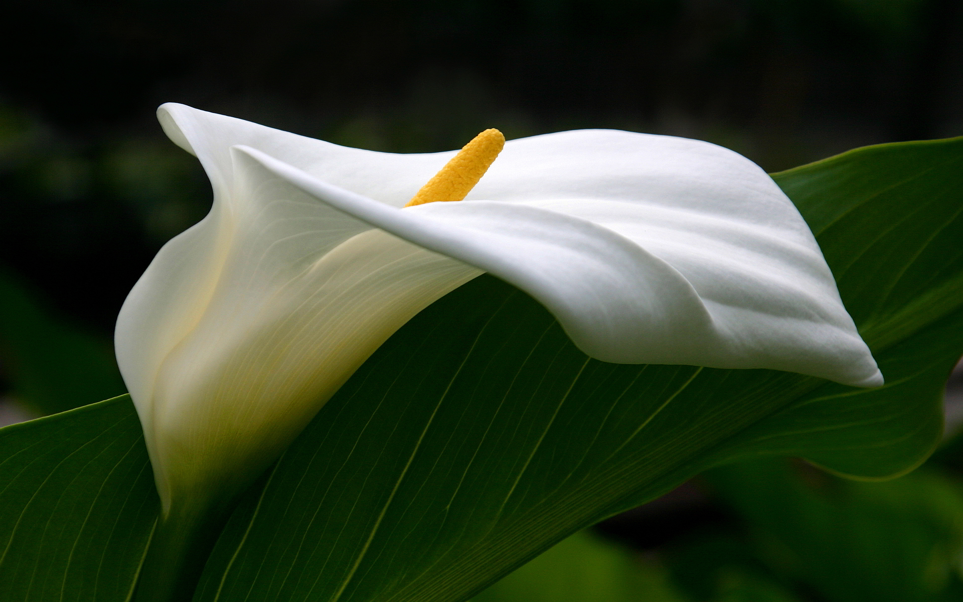 White Calla Lilies HD Wallpaper Flowers Wallpapers 1920x1200