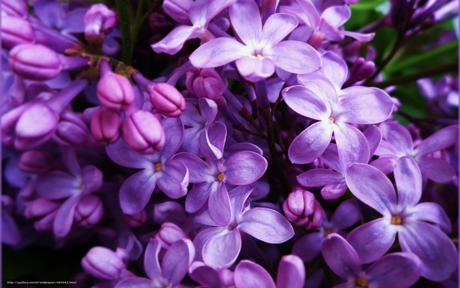 wallpaper Flowers lilac purple lilac desktop wallpaper 1600x1000