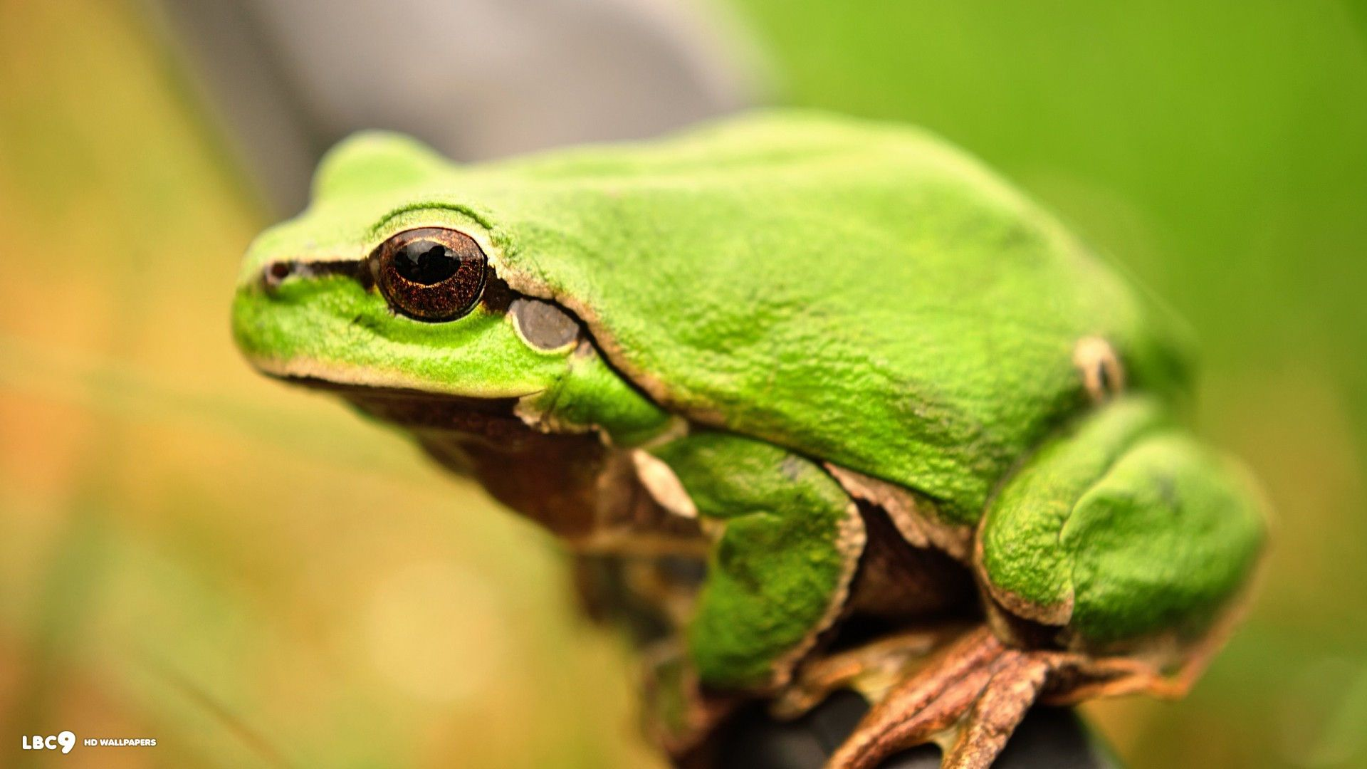 frog wallpaper 186 reptiles and amphibians hd backgrounds 1920x1080