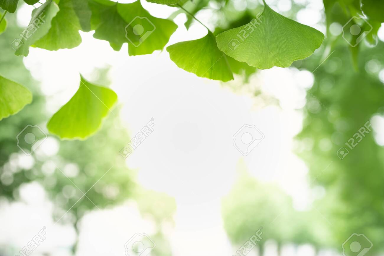 Close Up Of Nature View Green Ginkgo Leaf On Blurred Greenery 1300x866