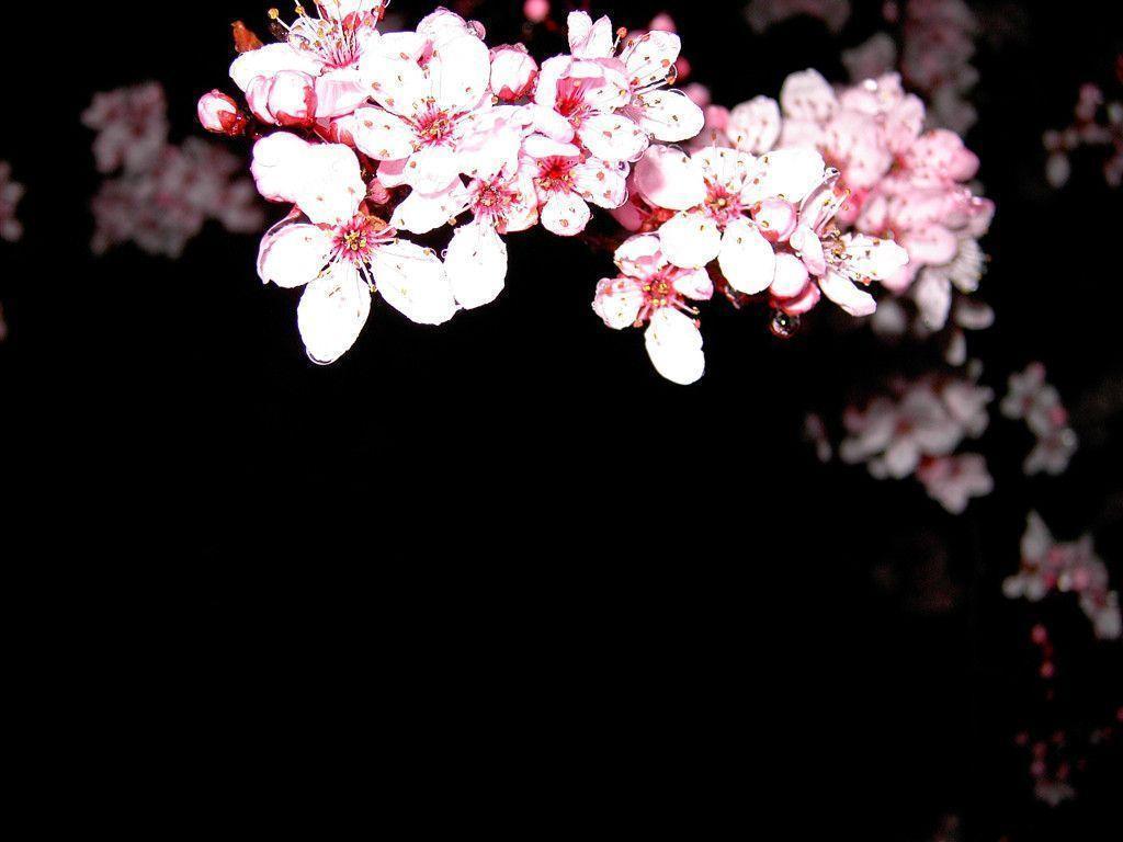 Cherry Blossom Desktop Wallpapers 1024x768