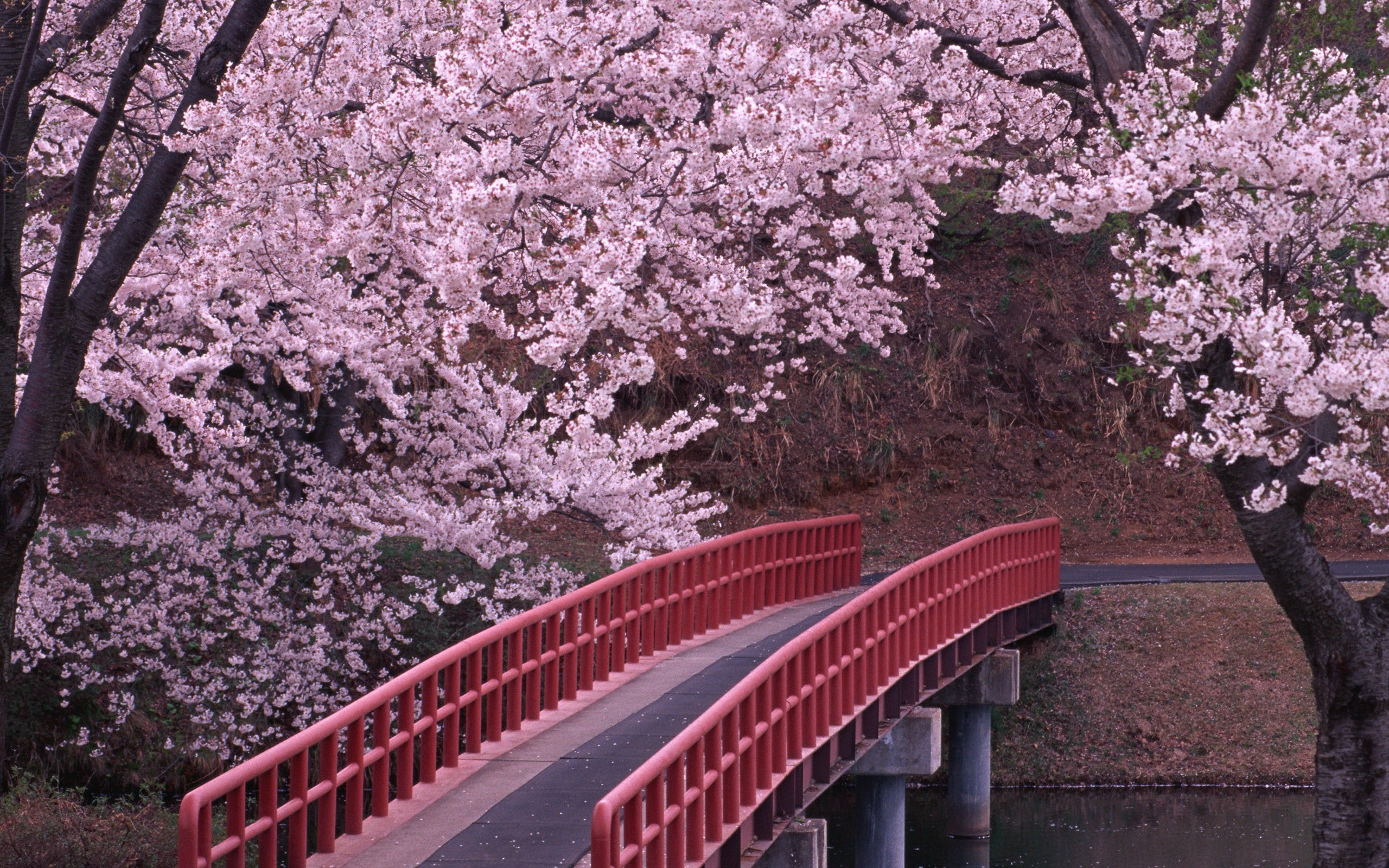 Cherry Blossom in Japan Wallpaper in High Resolution at Flowers 2560x1600