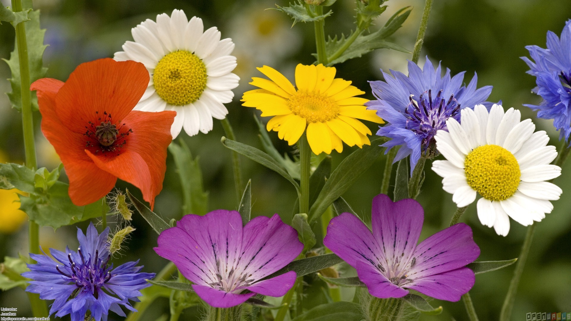 Summer Flowers Wallpaper Open Walls Background Images Free