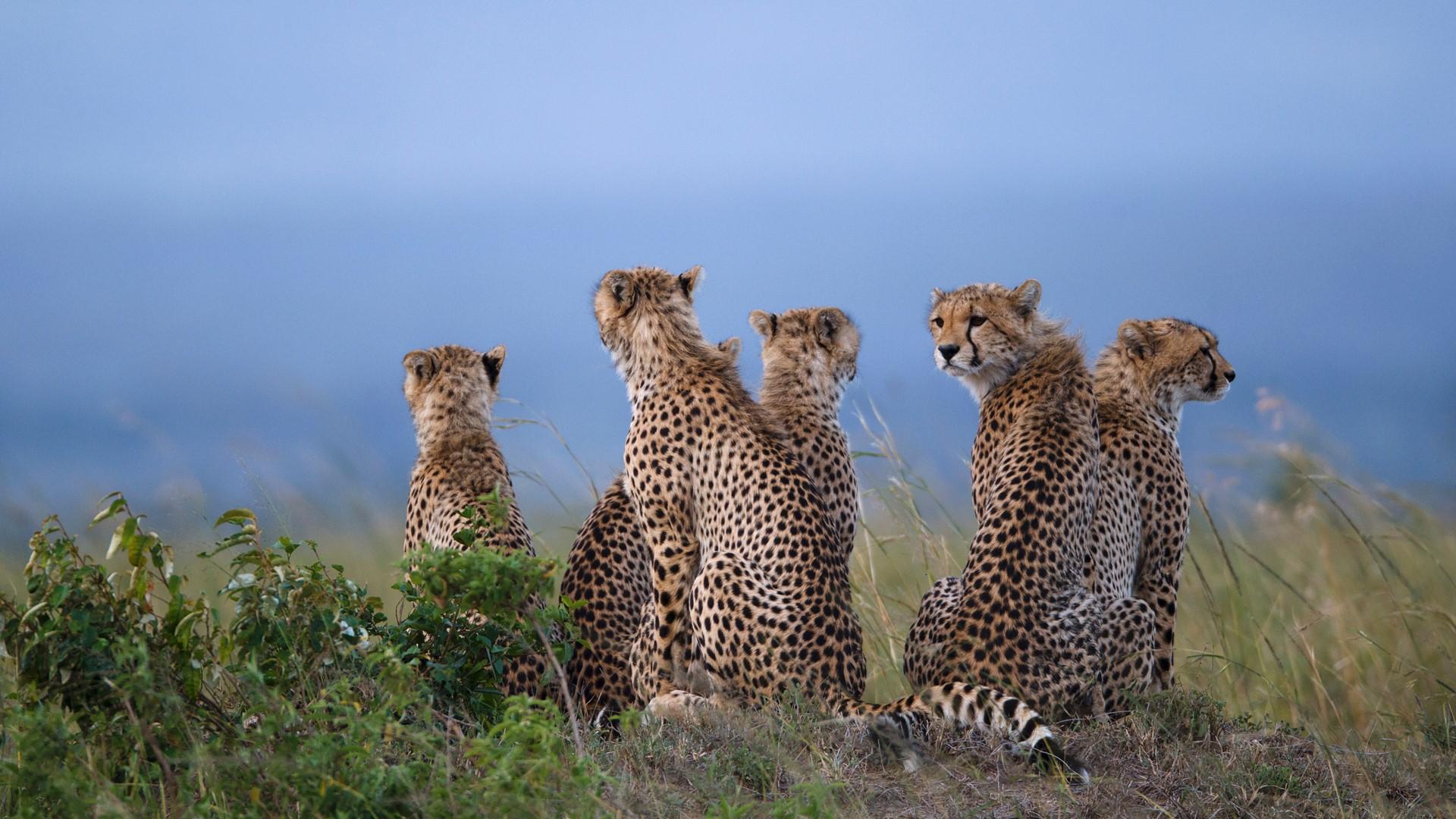 Cheetahs sitting in savannah field Maasai Mara National Reserve 1920x1080