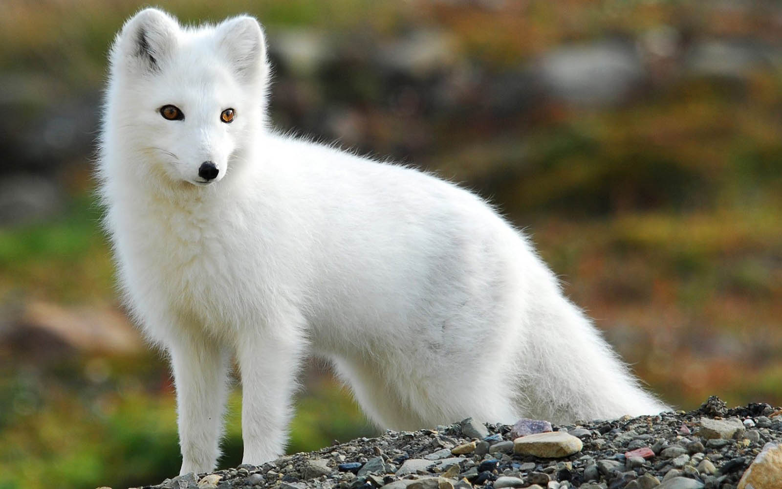 Arctic Fox Cute Baby Arctic Fox Cute Cartoon Fox 1600x1000