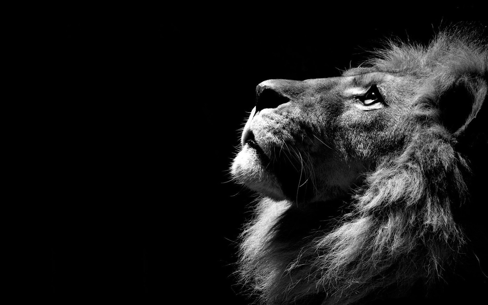 Lion In The Shadows HD Wallpaper Images New Desktop 1680x1050