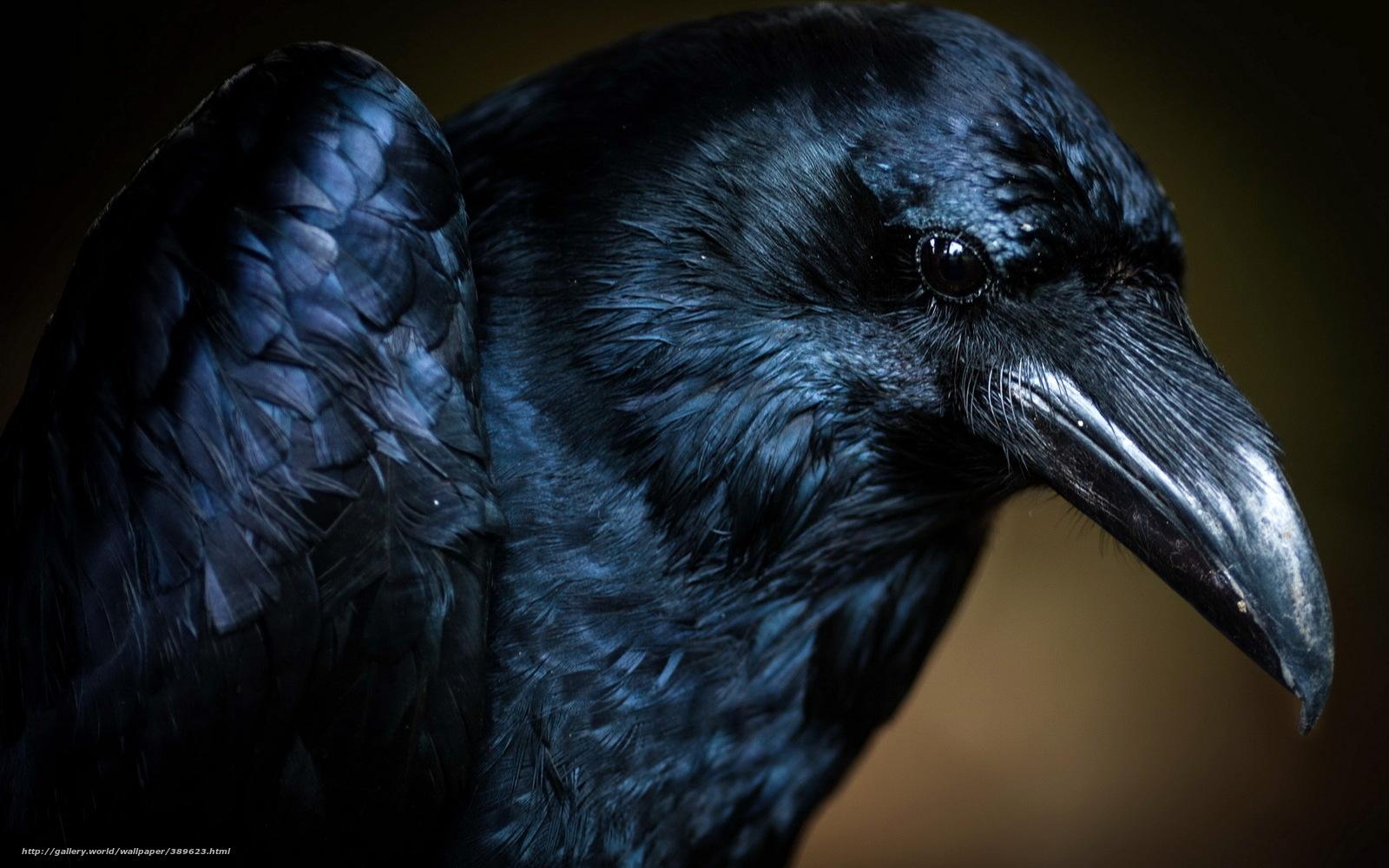 Download wallpaper bird raven macro desktop wallpaper in the 1600x1000