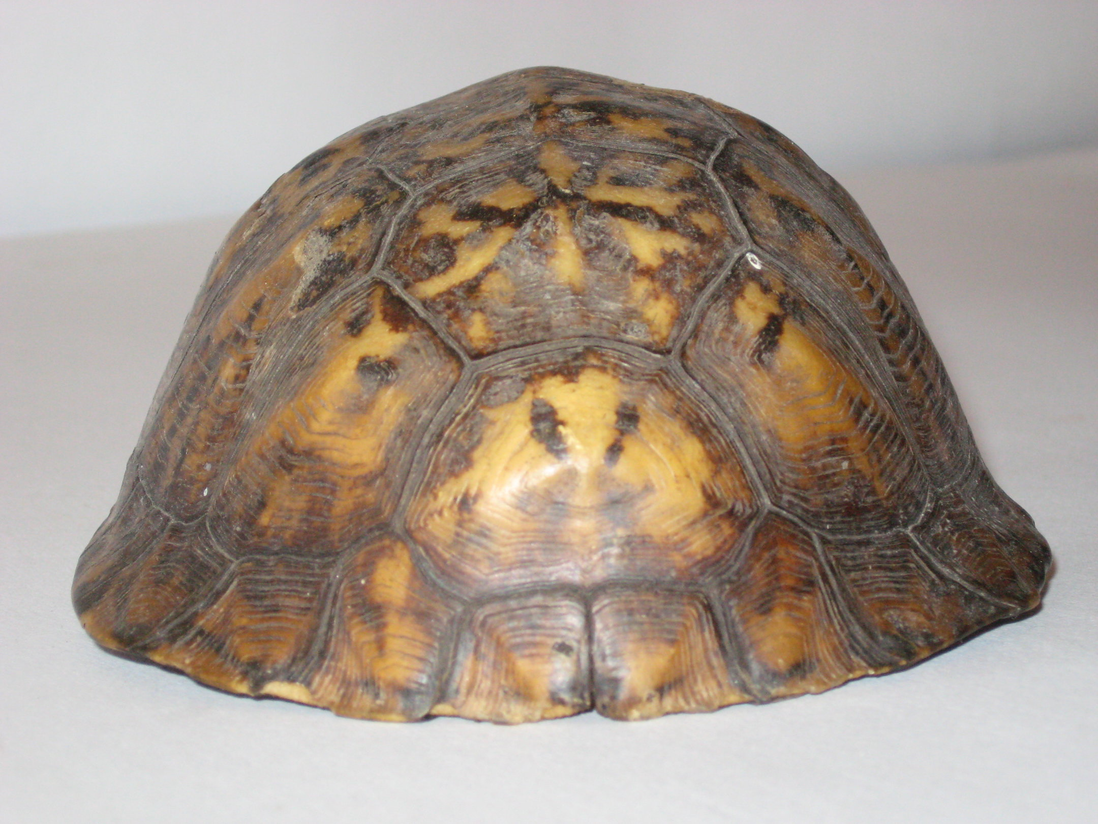 Tortoise Shell 2 by markopolio stock 2160x1620