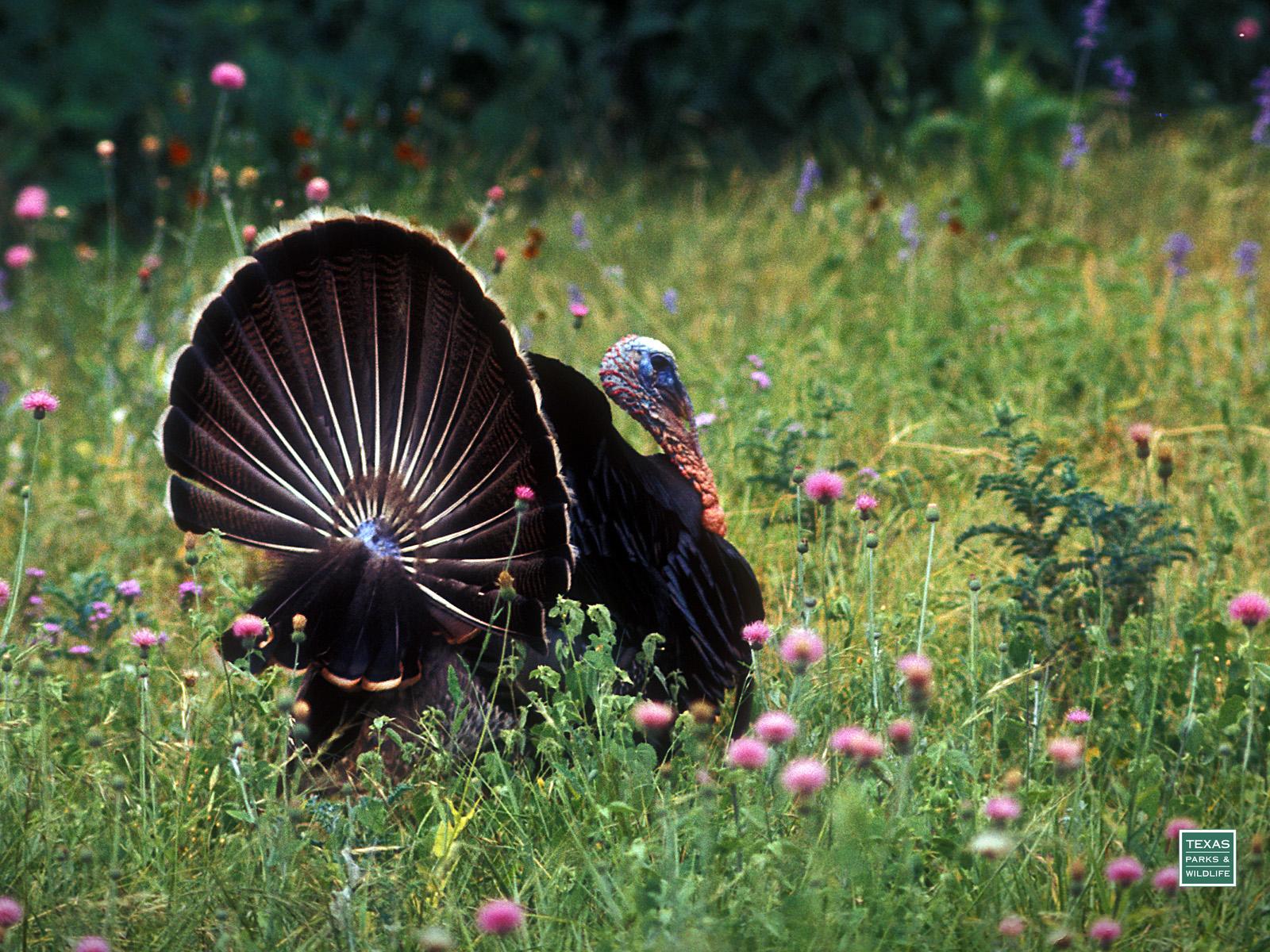 47 Free Wild Turkey Wallpaper On Wallpapersafari