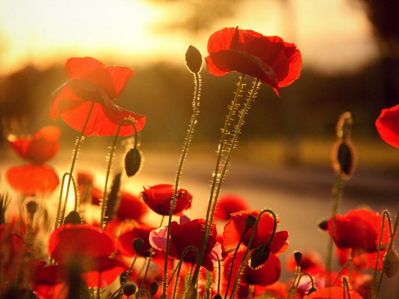 poppy - HD1440×1080