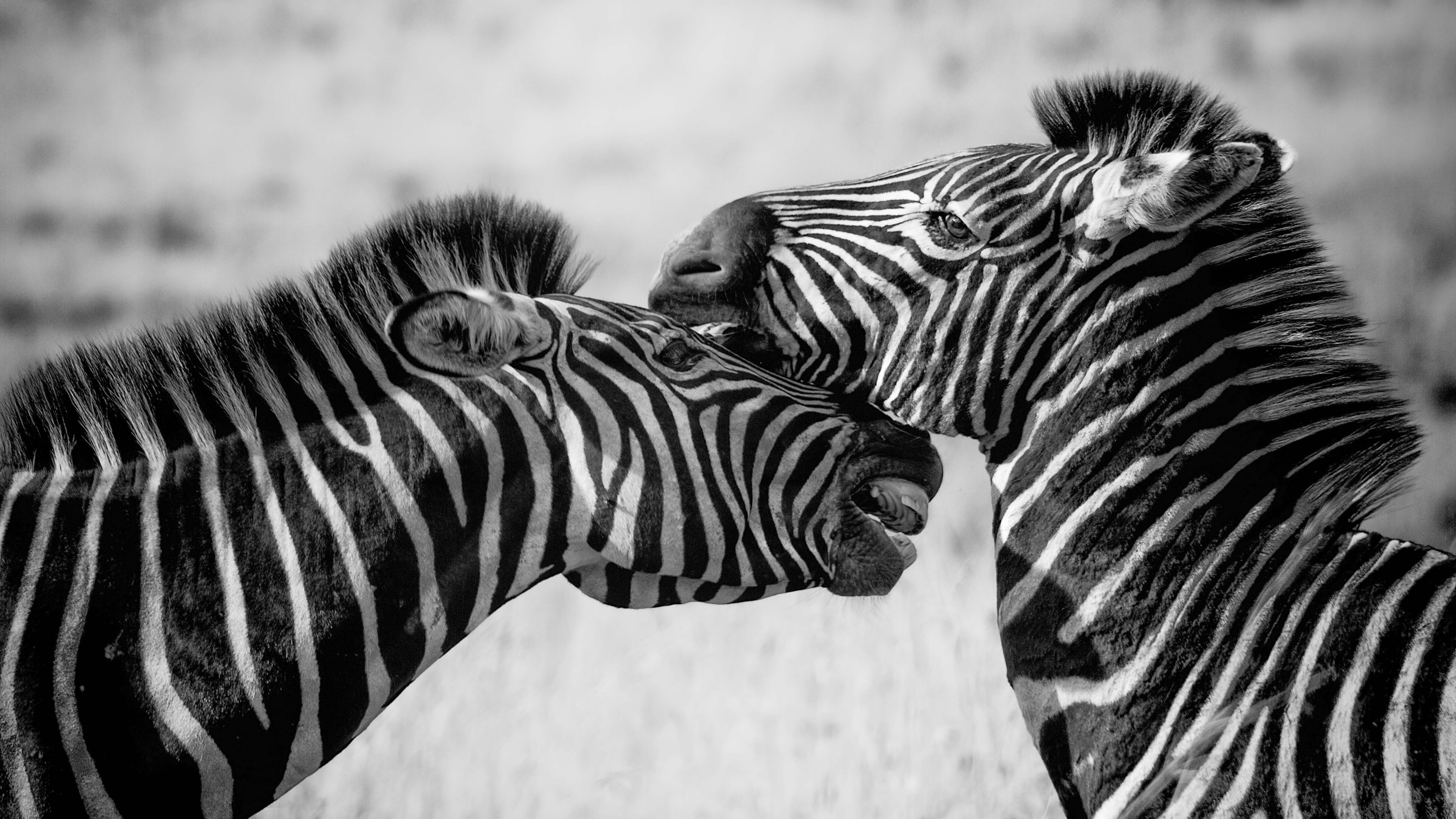 Wallpaper 4k Zebras Black And White 4k 4k wallpapers animals 3840x2160