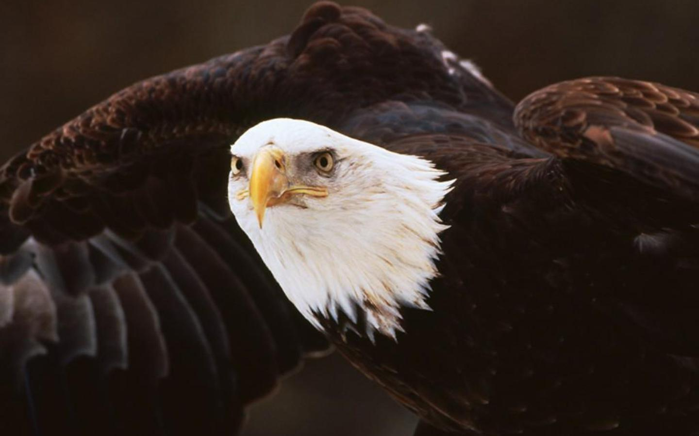 Eagle Wallpaper Photo And All American Bald 1440x900