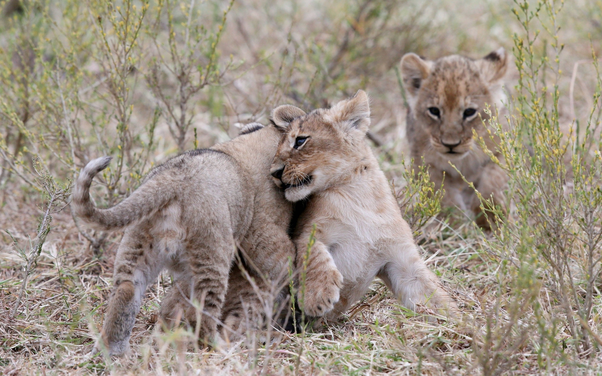 Lion cubs wallpaper   1377921 2560x1600