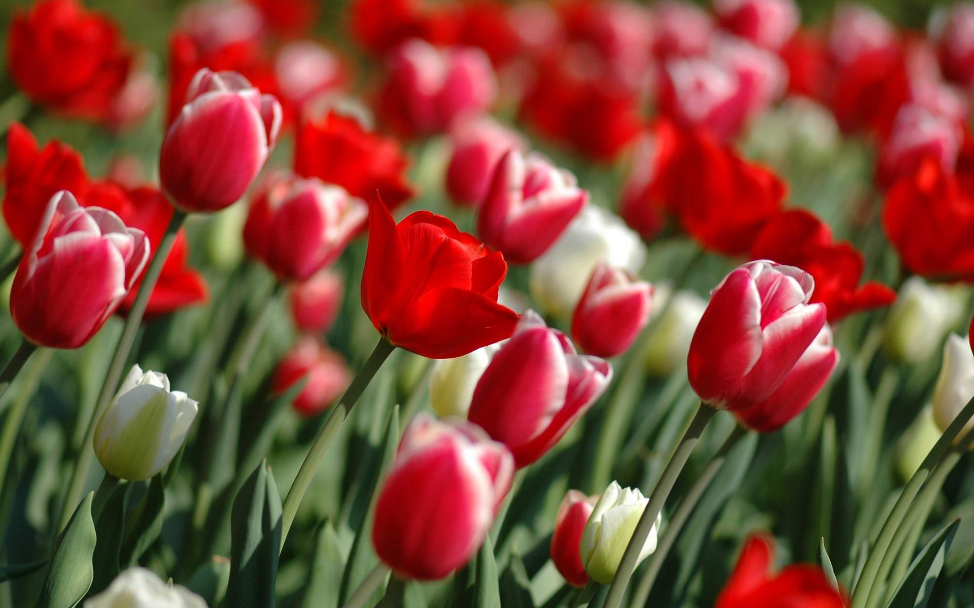 Red Tulips in spring Facebook Covers Wallpapers HD 1920x1200