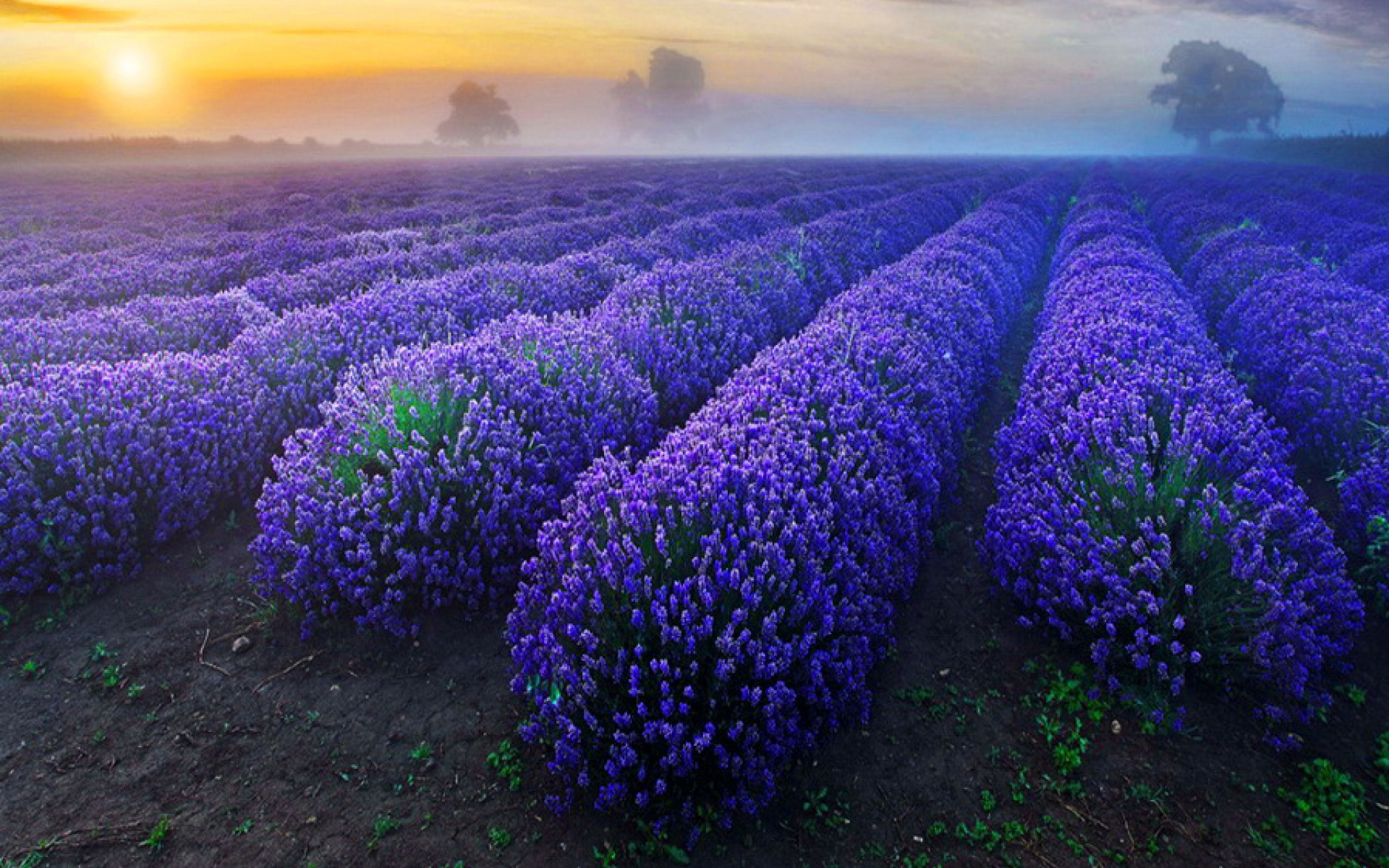 Lavender Flowers Backgrounds   Wallpaper High Definition 1920x1200