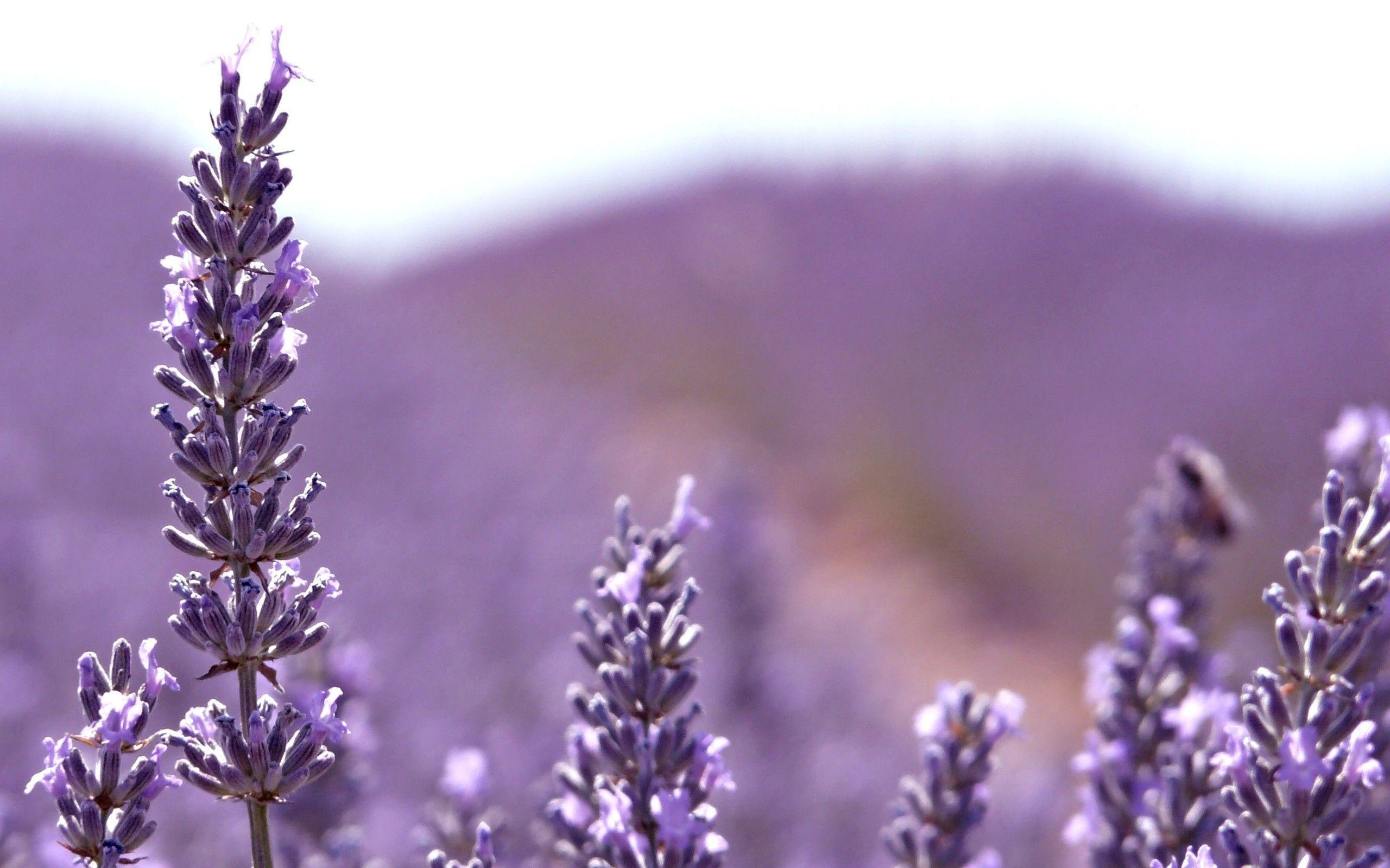 Lavender Flower Wallpapers 2560x1600